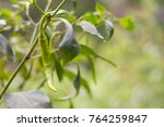 fresh red and green chilli and... | Shutterstock . vector #764259847