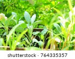 green chinese kale in vegetable ... | Shutterstock . vector #764335357