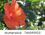 beautiful orange hibiscus flower | Shutterstock . vector #764345923