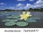 Small photo of American Lotus (Nelumbo lutea), blooming, Welder Wildlife Refuge, Rockport, Texas, USA, May