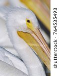 Small photo of American White Pelican, Pelecanus erythrorhynchos, adults, Rockport, Texas, USA, December
