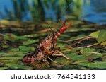 Small photo of Crayfish, Crawfish, Astacidae, adult in defensive pose, Sinton, Coastel Bend, Texas, USA, April