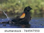 Small photo of Red-winged Blackbird, Agelaius phoeniceus,male bathing, Laguna Atascosa National Wildlife Refuge, Rio Grande Valley, Texas, USA, April