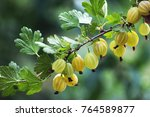 Branch Of Gooseberry In The...