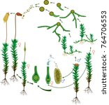 moss life cycle. diagram of a... | Shutterstock .eps vector #764706553