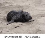 Small photo of Cute young Elephant Seal pup looking for it's mom on the beach in San Simeon. January is pupping season at the Piedras Blancas rookery.