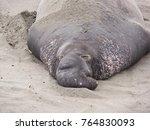 Big Bull Elephant Seal Getting...