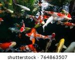 fancy carp  mirror carp  koi ...   Shutterstock . vector #764863507