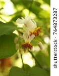 Small photo of Sparrmannia africana or african hemp or african linden white flowers with red core with green leaves