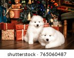 Stock photo two purebred samoyed puppies on the xmas background with a christmas tree and gift boxes white 765060487
