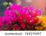 lesser bougainvillea ...   Shutterstock . vector #765274597