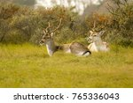 Two Male Fallow Deer Lying On...