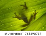 tree frog  flying frog ... | Shutterstock . vector #765390787