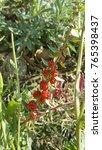 Small photo of Strawberry Blite wild flower