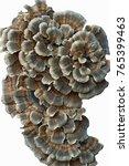 Turkey Tail Fungus  Trametes...