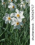 Small photo of Poet daffodil Actaea (Narcissus poeticus Actaea)