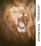Small photo of Double exposure Portrait of a Majestic male lion in Maasai Mara reserve in Kenya roaring