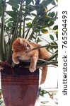 Stock photo orange menace cute fuzzy orange kitten tiger striped laying in sunny window in tropical pot 765504493