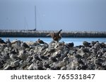 juvenile red footed booby a... | Shutterstock . vector #765531847