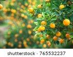 kumquat tree. together with... | Shutterstock . vector #765532237