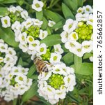 Small photo of Closeup of bee enjoying the white Lobularia maritima (Alyssum flowers)