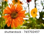 orange flower background and... | Shutterstock . vector #765702457