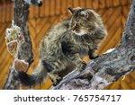 Siberian Persian Cat On Snow...