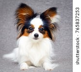 continental toy spaniel dog | Shutterstock . vector #765837253