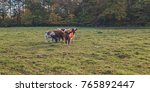 small group of young cows in... | Shutterstock . vector #765892447