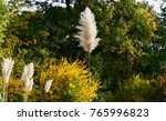 Pampas Grass In Garden....