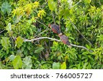 Small photo of Group of hoatzin or stinky turkey bird (Ophisthocomus hoazin), in its natural environment, the amazon rainforest, inside Yasuni National Park, Ecuador, South America.