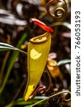 nepenthes  carnivorous plant...   Shutterstock . vector #766053193