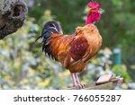 cock sings. red cock | Shutterstock . vector #766055287