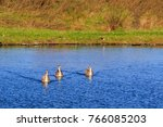 three juvenile whooper swans... | Shutterstock . vector #766085203