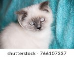 Stock photo portrait of sad face himalayan kitten sad kitten sit close up 766107337