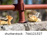 Two ground squirrels facing each other on rocks. Golden-mantled Ground Squirrel (Callospermophilus lateralis) - Beartooth Pass, Wyoming - Montana, USA