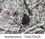 Blackbird On The Snowy Tree....