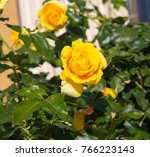 fully blown  award winning... | Shutterstock . vector #766223143