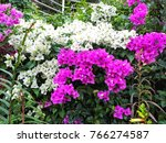 Small photo of Bougainvillea It is a perennial shrub type.Size from small shrub to bush. The thorns grow on the trunk, the leaves split,alternate with the branches or indent.The coat is slightly covered.