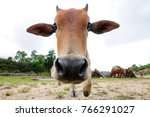 curious cow in the meadow ... | Shutterstock . vector #766291027