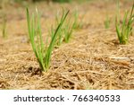 Small photo of spring onion vegetables backgound, green onion, Green Shallot, oignon vert, alliaceous background, Vegetable plot