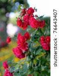Stock photo detail of red roses bush as floral background 76643407