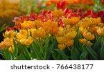 tulip flower in international... | Shutterstock . vector #766438177