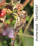 Small photo of Migrant Hawker dragonfly (Aeshna mixta) close-up on male perched on bramble, Marazion, Cornwall, England, UK.