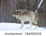 Small photo of Timber wolf (Canis lupus) walking in the winter snow