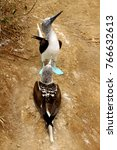 the famous blue footed booby in ... | Shutterstock . vector #766632613
