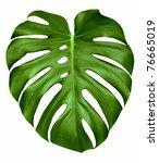 Big Green Leaf Of Monstera...