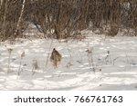 canadian lynx  lynx canadensis  ...   Shutterstock . vector #766761763
