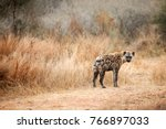 close up of an african hyena.... | Shutterstock . vector #766897033