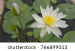 The Lotus Flower In The...